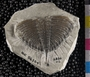 IMLS Silurian Reef Digitization Project, Image of a Silurian trilobite, specimen UC 56304