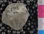 IMLS Silurian Reef Digitization Project, Image of a Silurian trilobite, specimen UC 5743
