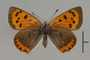 124066 Lycaena phlaeas d IN