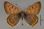 124067 Lycaena helloides male d IN