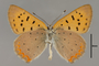 124067 Lycaena helloides male v IN