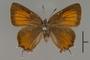 124068 Callophrys gryneus d IN