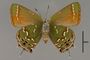 124068 Callophrys gryneus v IN