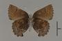 124069 Callophrys polios v IN