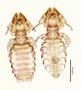 28845 Procavicola(Meganarionoides)  muesebecki PT d IN