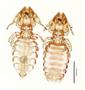 28845 Procavicola(Meganarionoides)  muesebecki PT v IN