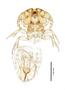 28852 Neotrichodectes semistriatus PT d IN