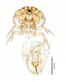 28852 Neotrichodectes semistriatus PT v IN