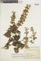 Salvia amethystina subsp. amethystina, COLOMBIA, F