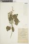 Salvia amethystina Sm., COLOMBIA, F