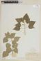 Salvia camarifolia Benth., COLOMBIA, F