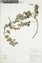 Minthostachys mollis (Kunth) Griseb., Peru, M. Binder 99/144, F