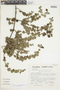 Minthostachys mollis (Kunth) Griseb., Peru, S. Llatas Quiroz 3073, F