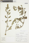 Minthostachys mollis (Kunth) Griseb., Peru, S. Leiva G. 286, F