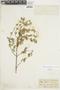 Minthostachys mollis (Kunth) Griseb., ECUADOR, F