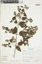 Minthostachys mollis (Kunth) Griseb., Peru, A. Sagástegui A. 14779, F