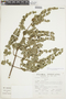 Minthostachys mollis (Kunth) Griseb., Peru, S. Llatas Quiroz 1914, F