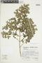 Minthostachys mollis (Kunth) Griseb., Peru, S. Llatas Quiroz 2590, F