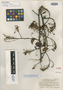 Bauhinia gracilipes Merr., Indonesia, H. H. Bartlett 7600, Isotype, F