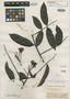 Campsiandra comosa Benth., BRITISH GUIANA [Guyana], R. H. Schomburgk 296, Isosyntype, F