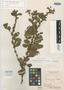 Cassia filipes Benth., BRITISH GUIANA [Guyana], Schomburgk 787, Isotype, F