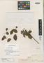 Cassia undulata Benth., BRITISH GUIANA [Guyana], R. H. Schomburgk 86, Isolectotype, F