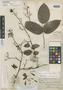 Martiusia excelsa Benth., BRITISH GUIANA [Guyana], R. H. Schomburgk 589, Isosyntype, F