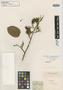 Martiusia excelsa Benth., BRITISH GUIANA [Guyana], R. H. Schomburgk s.n., Isosyntype, F