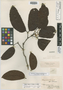 Peltogyne paniculata Benth., BRITISH GUIANA [Guyana], Schomburgk 908, Isotype, F