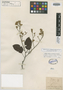 Peltogyne pubescens Benth., BRITISH GUIANA [Guyana], R. H. Schomburgk 88, Isosyntype, F