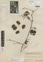 Schnella brachystachya Benth., BRITISH GUIANA [Guyana], Schomburgk 565, Isotype, F