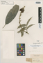 Tachigali pubiflora Benth., BRITISH GUIANA [Guyana], R. H. Schomburgk 43, Isotype, F