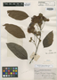 Inga corymbifera Benth., BRITISH GUIANA [Guyana], R. H. Schomburgk 226B, Isotype, F