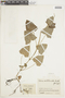 Salvia scutellarioides Kunth, COLOMBIA, F