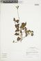 Salvia scutellarioides Kunth, Peru, J. G. Sánchez V. 277, F