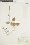 Salvia scutellarioides Kunth, ECUADOR, F