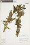 Salvia speciosa C. Presl ex Benth., Peru, J. M. Cabanillas S. 465, F