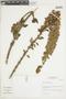 Salvia speciosa C. Presl ex Benth., Peru, I. M. Sánchez Vega 1629, F