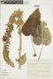 Salvia speciosa C. Presl ex Benth., Peru, I. M. Sánchez Vega 2253, F