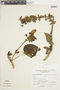 Salvia speciosa C. Presl ex Benth., Peru, A. Sagástegui A. 7691, F