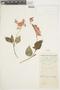 Salvia splendens Sellow ex Wied-Neuw., PERU, F