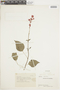 Salvia splendens Sellow ex Wied-Neuw., COLOMBIA, F