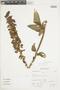 Salvia speciosa C. Presl ex Benth., Peru, A. Sagástegui A. 14776, F