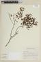 Salvia arenaria A. St.-Hil., BRAZIL, F