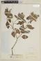 Salvia bogotensis Benth., COLOMBIA, F