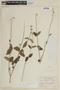 Salvia cardiophylla Benth., PARAGUAY, F