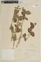 Salvia cardiophylla Benth., ARGENTINA, F