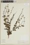 Salvia cardiophylla Benth., BRAZIL, F