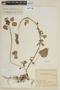 Salvia carnea Kunth, COLOMBIA, F