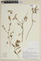 Salvia chorianthos Epling, BOLIVIA, F